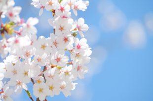2020年の新宿御苑のお花見・桜見物