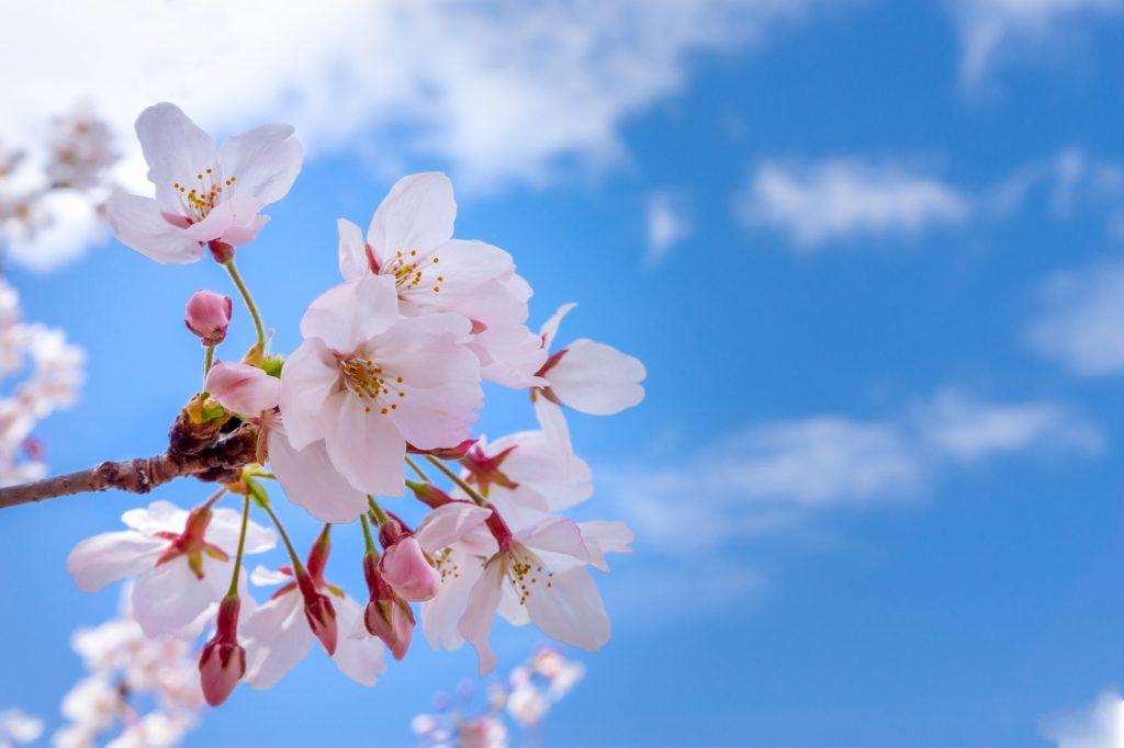 甘泉園公園の桜
