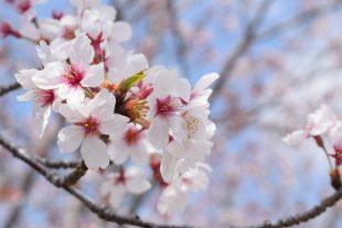 新宿の桜・お花見を楽しむならここ!